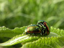 Green beetles Stock Image