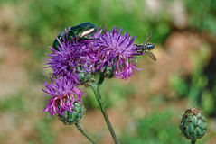 Green beetles and a bee on a pink thistle Royalty Free Stock Photo