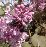 Green beetles. Three green beetles to lilac flowers Royalty Free Stock Images