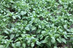 green bell pepper plant Stock Image