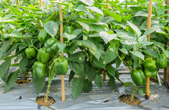 Green bell pepper plant royalty free stock photo