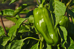 Green bell pepper to be harvest Royalty Free Stock Image