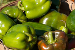 Green Bell Peppers. Bushel basket filled with freshly hand picked organic green peppers at a local farm stock image