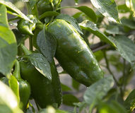 Green bell peppers in the garden Stock Image
