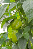 Green Bell Peppers. Bell Peppers Ripening on the Vegetable Bed Royalty Free Stock Photo