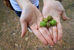 Green berries fruit. Female hand holding wild fruits. green berries stock image