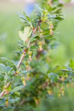Green berries of gooseberries Royalty Free Stock Photo