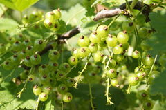 Green berries red currants Stock Image