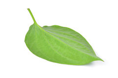 Green betel leaf heart shape isolated on white Royalty Free Stock Photography