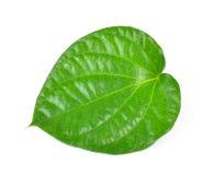 Green betel leaf heart shape isolated on white background Stock Photos