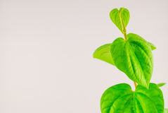 Green betel leaf Royalty Free Stock Photography