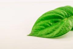 Green betel leaf Stock Images