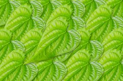 Green betel leaf texture. Royalty Free Stock Photos