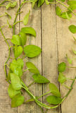Green betel leaf Royalty Free Stock Photo