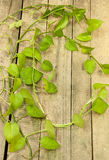 Green betel leaf Stock Photography