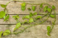 Green betel leaf Royalty Free Stock Photos