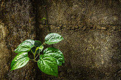 Green betel leaves Royalty Free Stock Photo