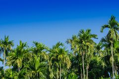 Green Betel palm tree on blue sky background. Royalty Free Stock Image