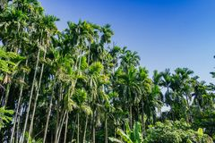 Betel palm tree on blue sky background Stock Photos