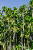Green Betel palm tree on blue sky background Royalty Free Stock Photo