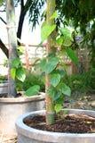 Green betel Stock Photos