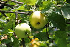 Green big apples on a branch Stock Image