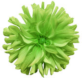 Green  big autumnal flower, green center on a white  background isolated  with clipping path. Closeup. big shaggy  flower. for des Stock Images