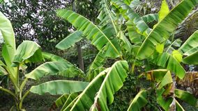 Green big banana tree leaves in front of a mango tree. Green big banana tree leaves waving in the wind in front of a mango tree with green mango fruits stock video footage