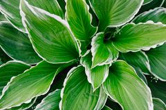 Green big bright leaves with white borders royalty free stock photography