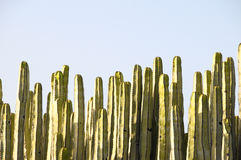 Green Big Cactus in the Desert. On a Sunny Day Stock Images