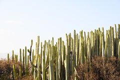 Green Big Cactus in the Desert Stock Photos