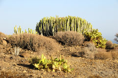 Green Big Cactus in the Desert Stock Photo
