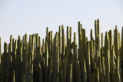 Green Big Cactus in the Desert Royalty Free Stock Photo