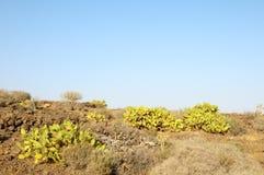 Green Big Cactus in the Desert Royalty Free Stock Photos