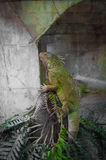 Green big cameleon Stock Images