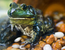 Green big eye smiling frog Royalty Free Stock Images