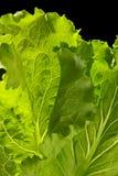 Green big fresh lettuce leaves stock photos
