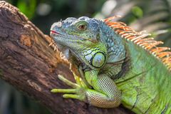 A green big iguana is lying on a tree branch. In a tropical forest and basking in the sun. Reptile head closeup royalty free stock images