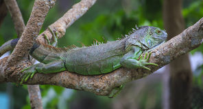 Big iguana Stock Images