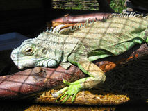Green big iguana in zoo Royalty Free Stock Photos