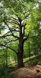 Green big leafy oak tree Royalty Free Stock Images