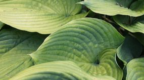 Green big leaves with geometric patterns. Fresh green leaves with geometric line patterns. Photo taken in the church garden on a summer day royalty free stock photos