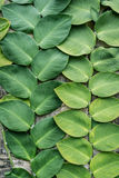 Green big leaves old wall decorated in garden background Stock Image