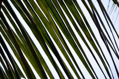 Green big palm leaf detail photo and blue sky Royalty Free Stock Photography