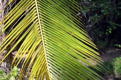 Green big palm leaf detail photo in summer Royalty Free Stock Image