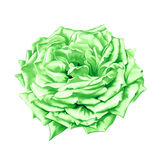 Green big Rose Flower Stock Photo