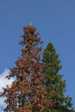 Green big spruce against a blue sky and beside her dead dry fir Royalty Free Stock Photo