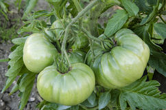 Green and big tomatoes Royalty Free Stock Image