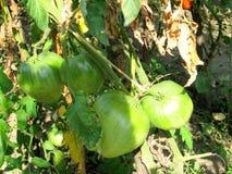 Green big tomatoes closeup Stock Photography