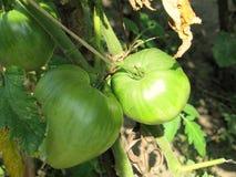 Green big tomatoes closeup Royalty Free Stock Images